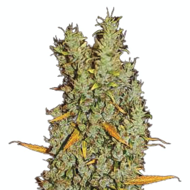 Tropical Seeds Company Zamalmystik, Regular | Weedmaps