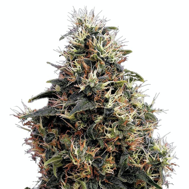 Green House Seed Co  Sweet Mango Autoflowering Reviews | Weedmaps