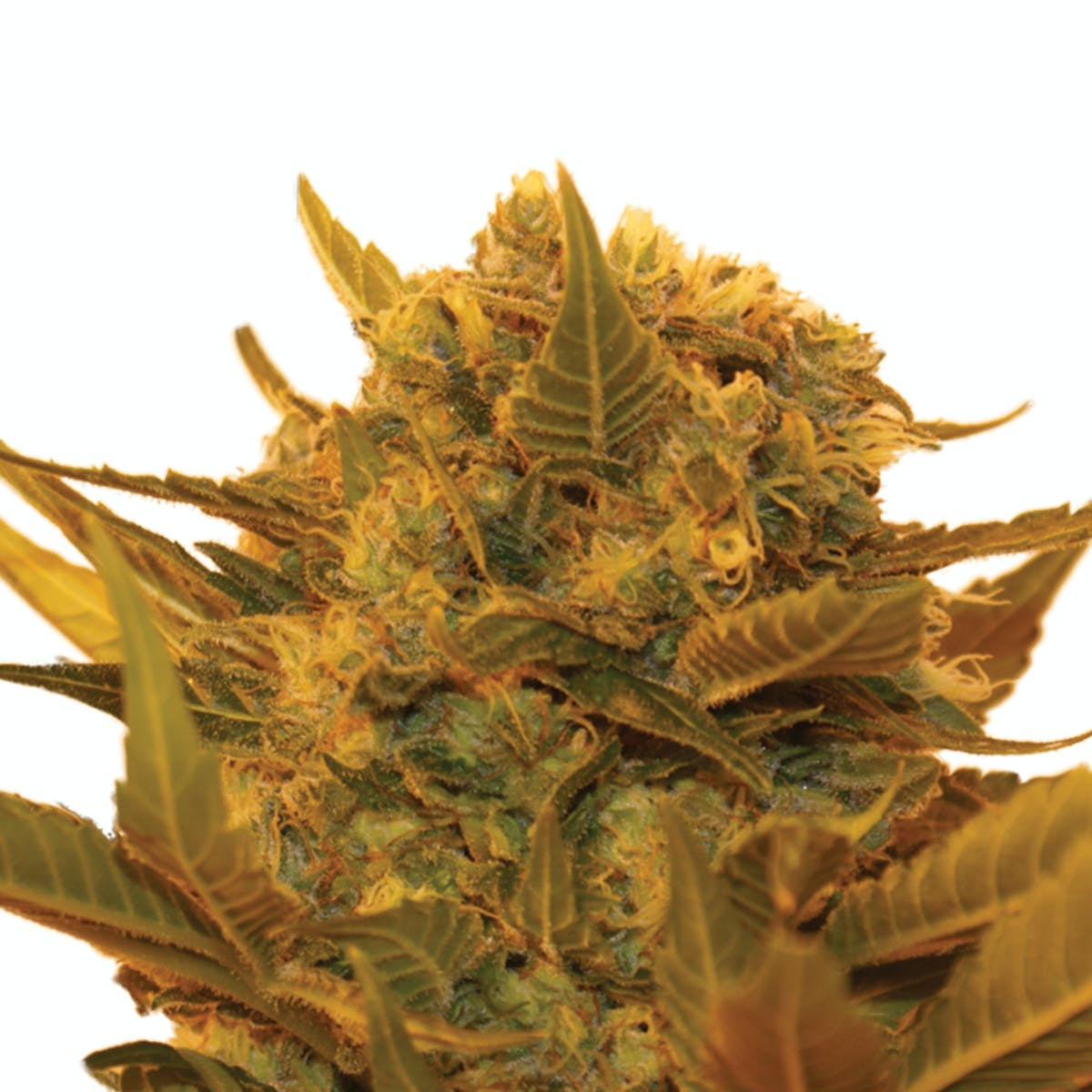Resin Seeds | Featured Products & Details | Weedmaps